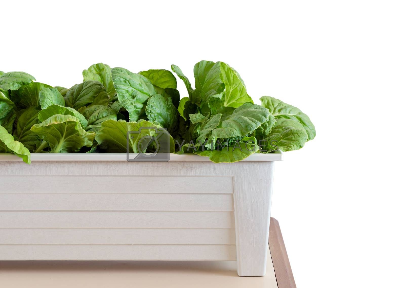 Hydroponic vegetables growing in pot on white background by siraanamwong