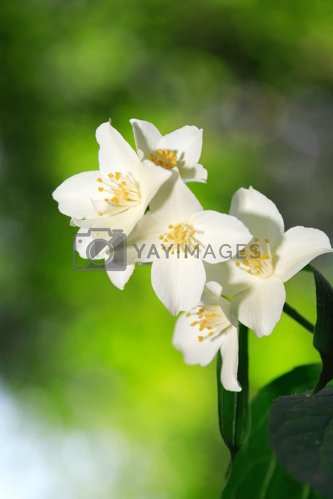 Jasmine Blossoming by kvkirillov