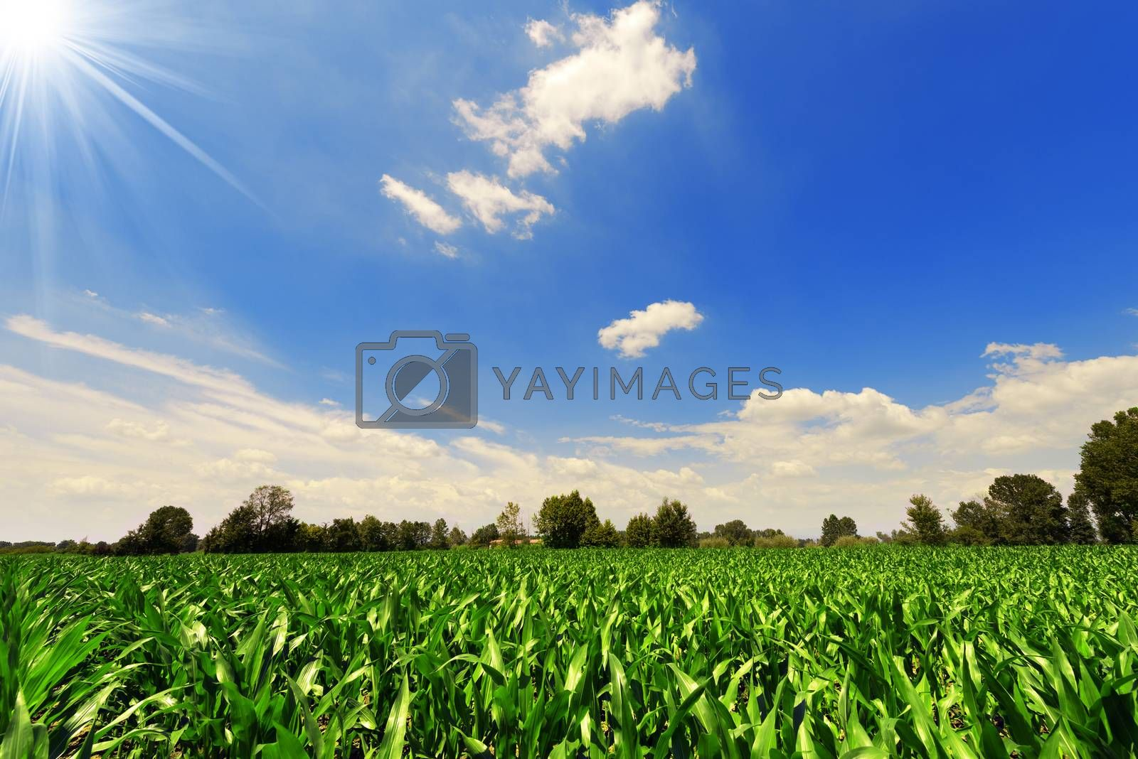 Green Corn Field by catalby
