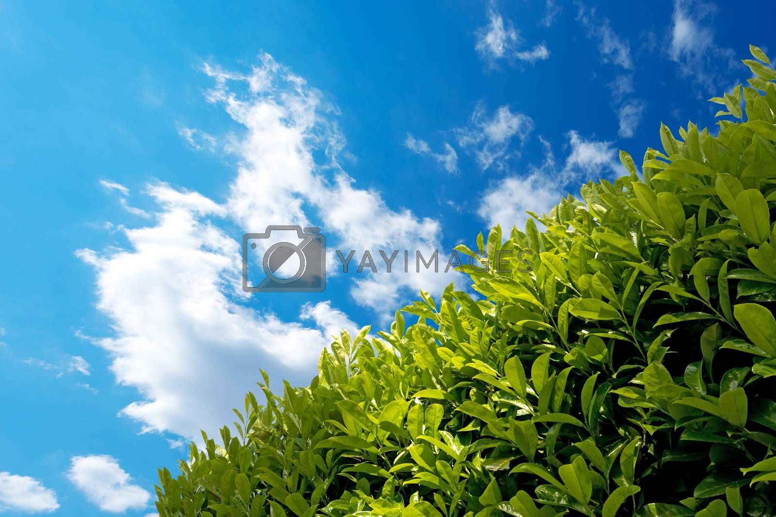 Hedge with Blue Sky by catalby