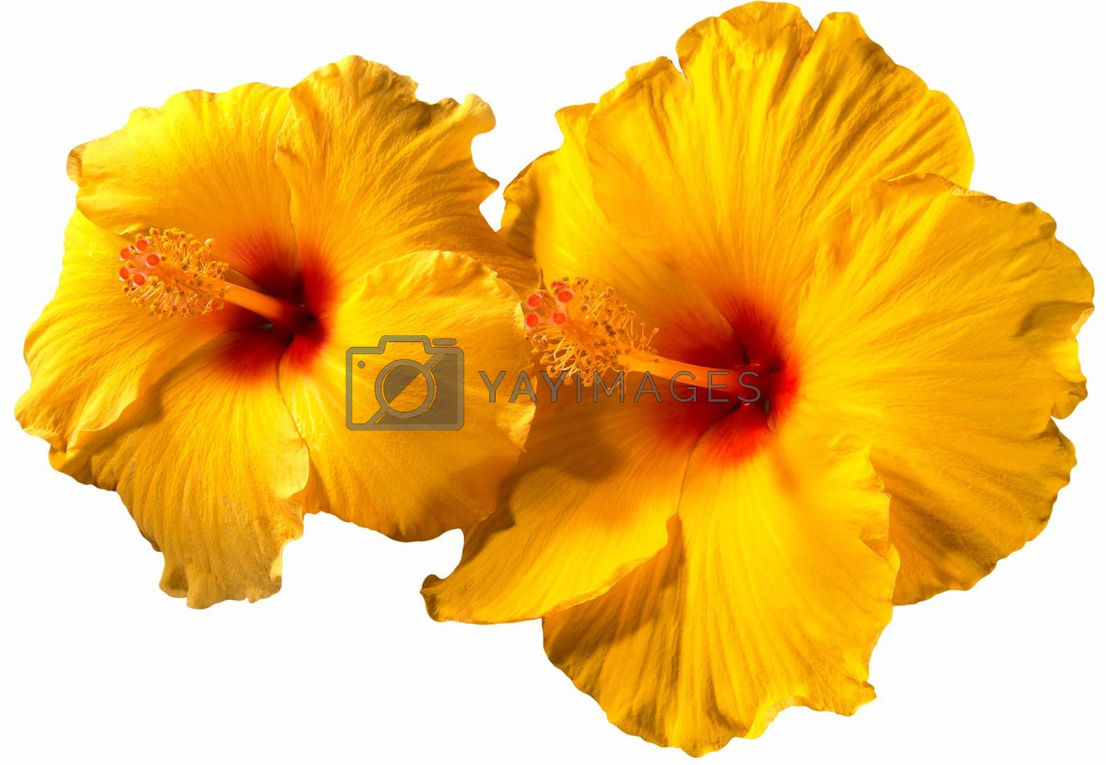 Orange Hibiscus Flowers by catalby