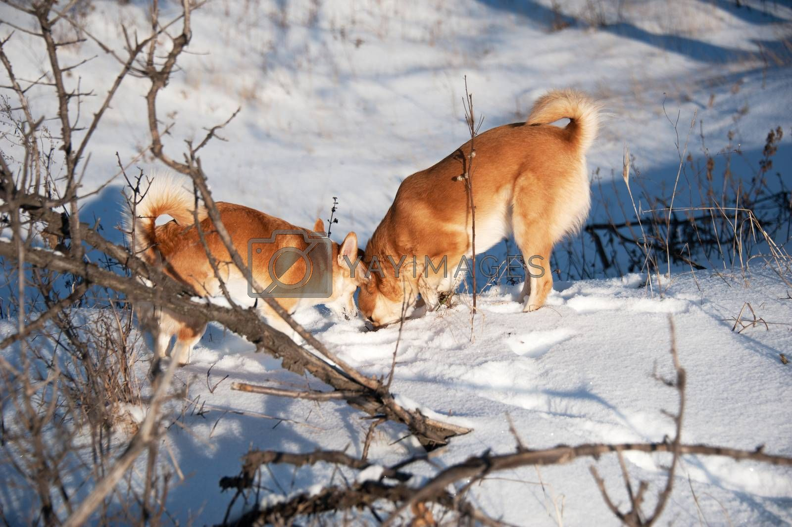 Dogs digging snow. Friendship and fun. by bashta
