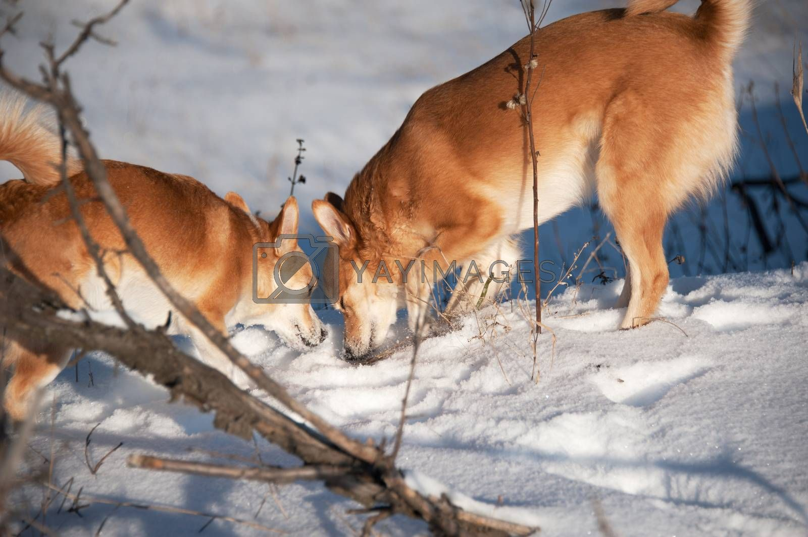 Dogs digging snow. by bashta