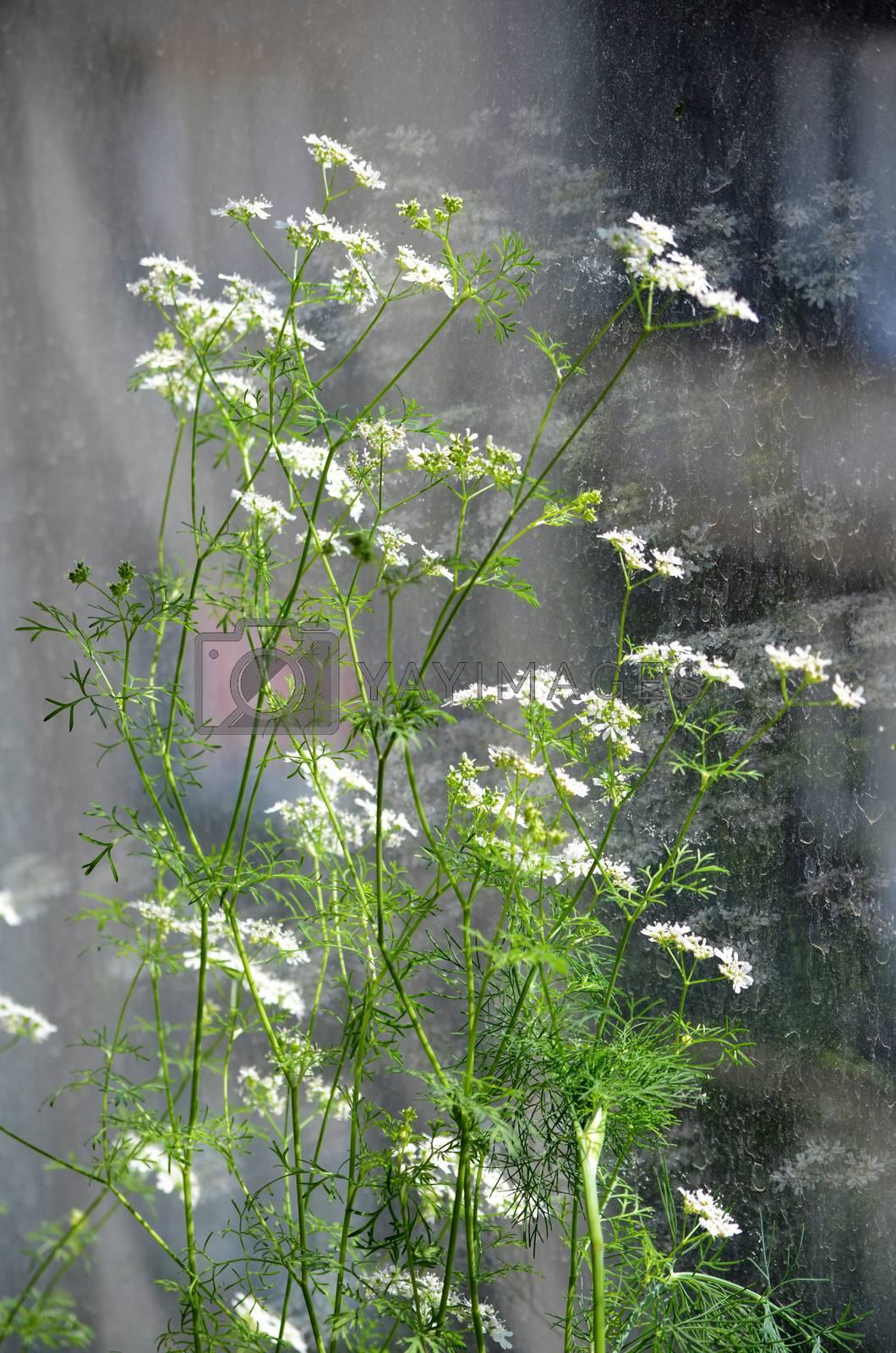coriander by sarkao