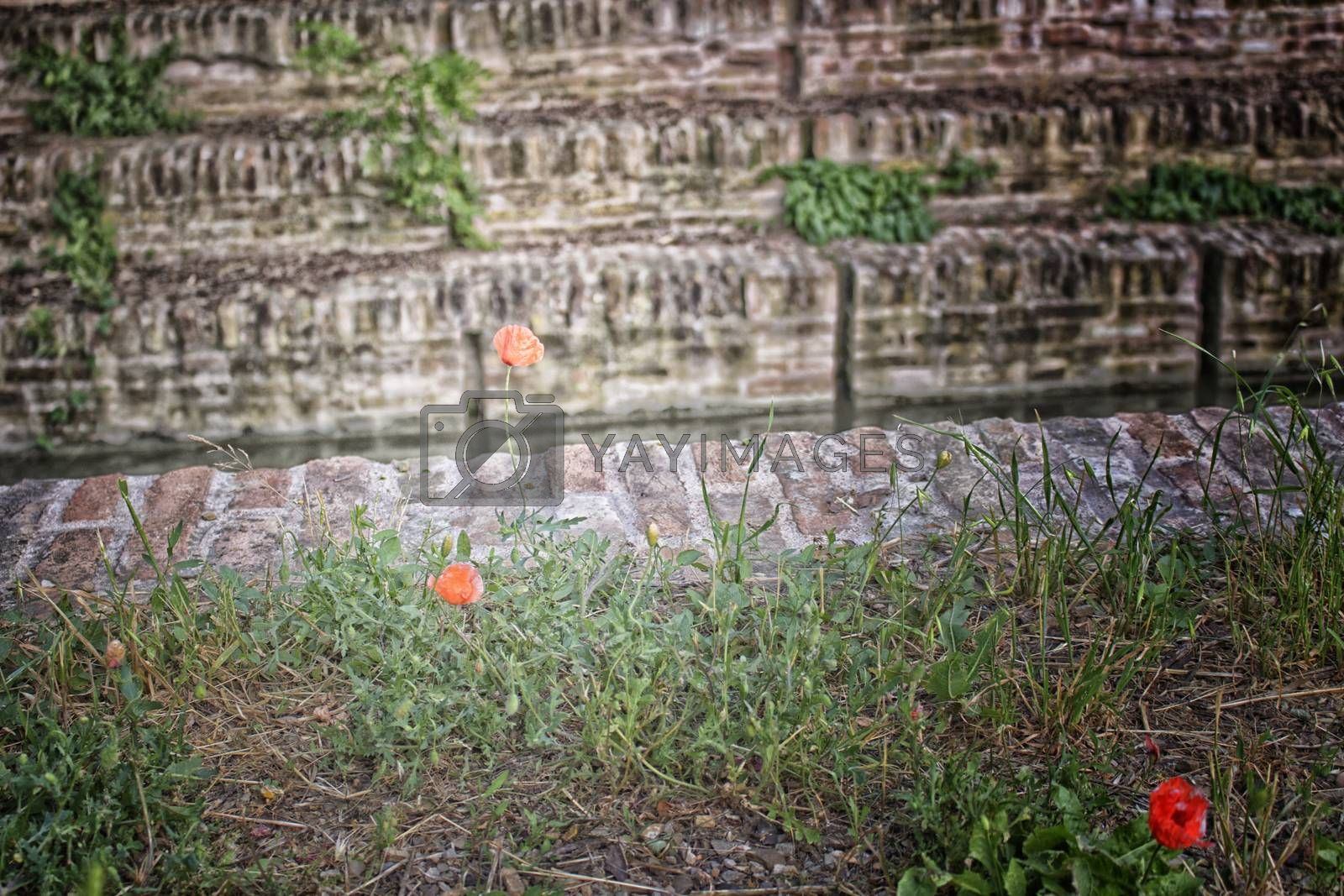 Lone Red poppy on wall of channel in Italian countryside