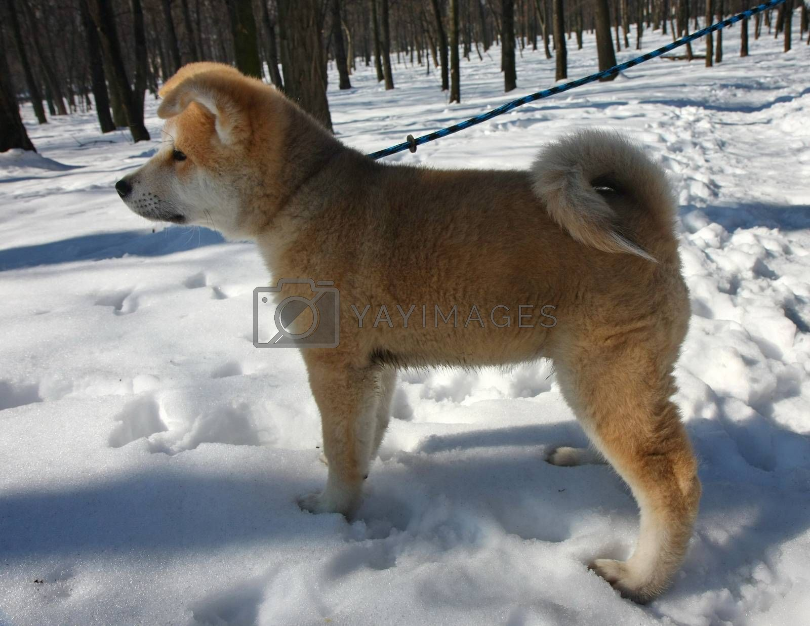 Puppy of Japanese dog Akita Inu,Belgrade,Serbia.First steps on the snow.
