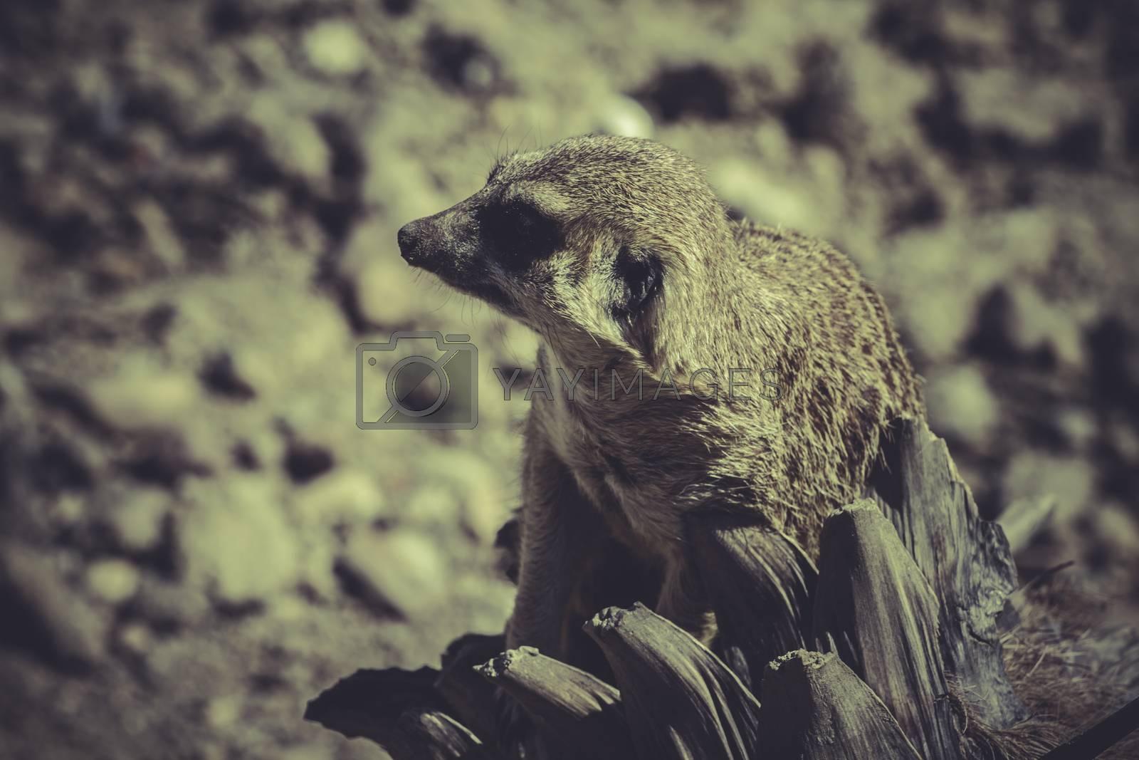 Meerkat (Suricata suricatta) portrait