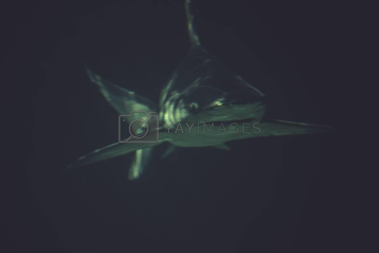 rerocious, Great Shark Underwater Photo  in the deep blue water.