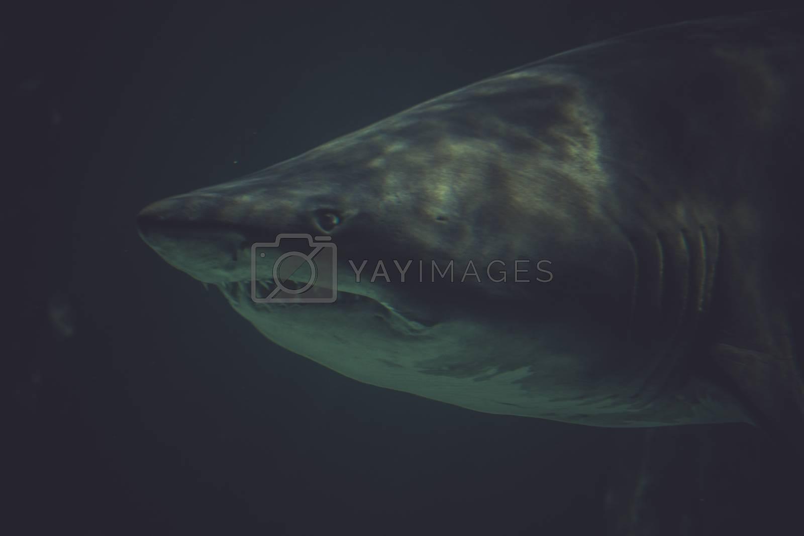 scuba, Great Shark Underwater Photo  in the deep blue water.