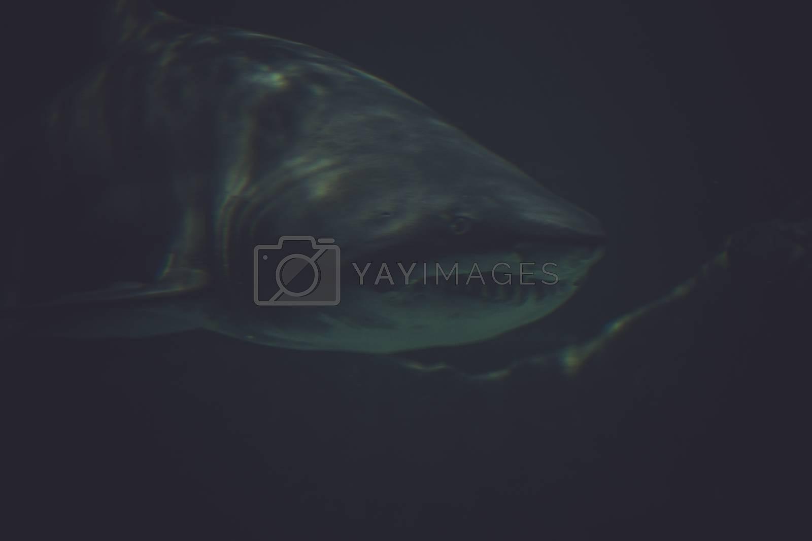 predator, Great Shark Underwater Photo  in the deep blue water.
