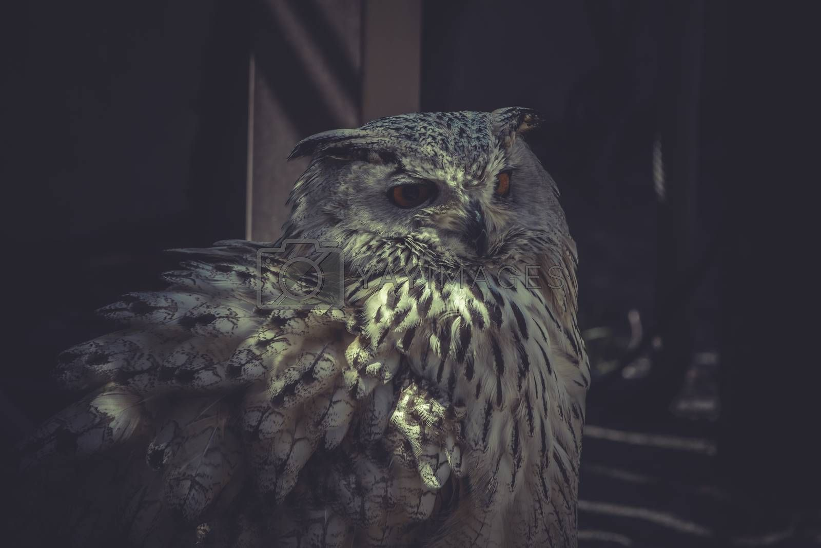Owl portrait with beautiful feathers