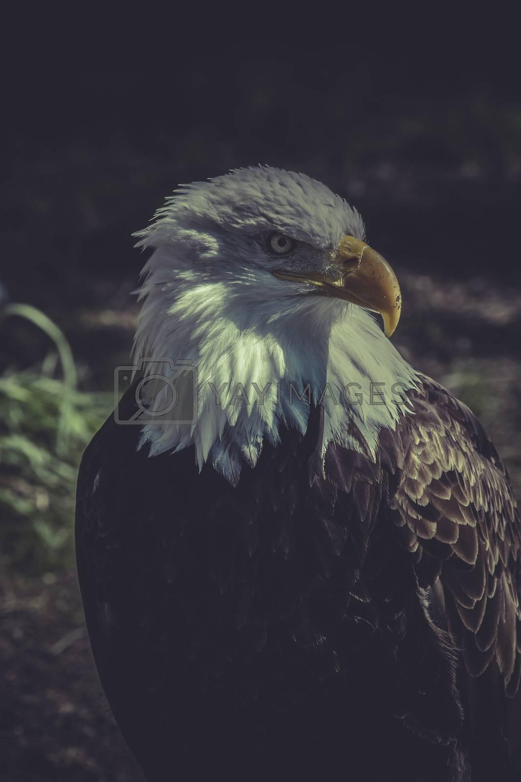 freedom, American Bald Eagle (Haliaeetus leucocephalus)