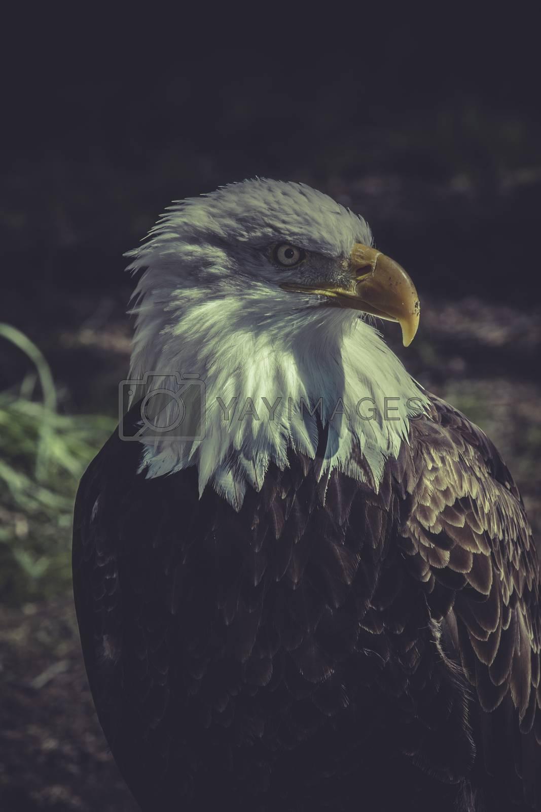 wildlife, American Bald Eagle (Haliaeetus leucocephalus)