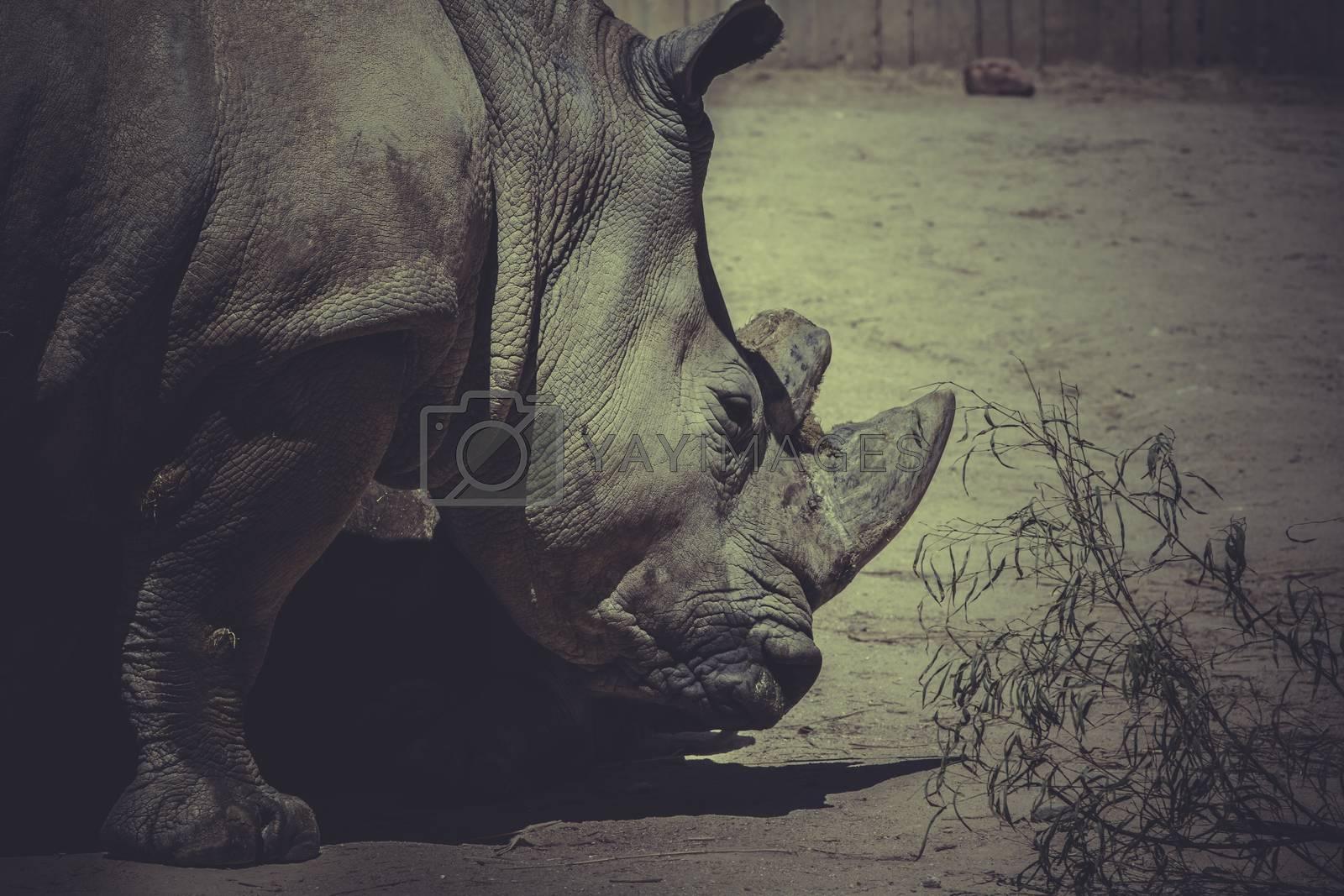 safari, White rhino (Ceratotherium simum)