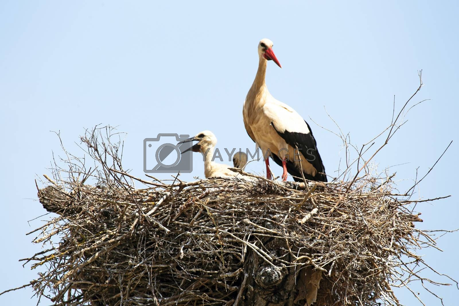 White stork with her babies on her nest