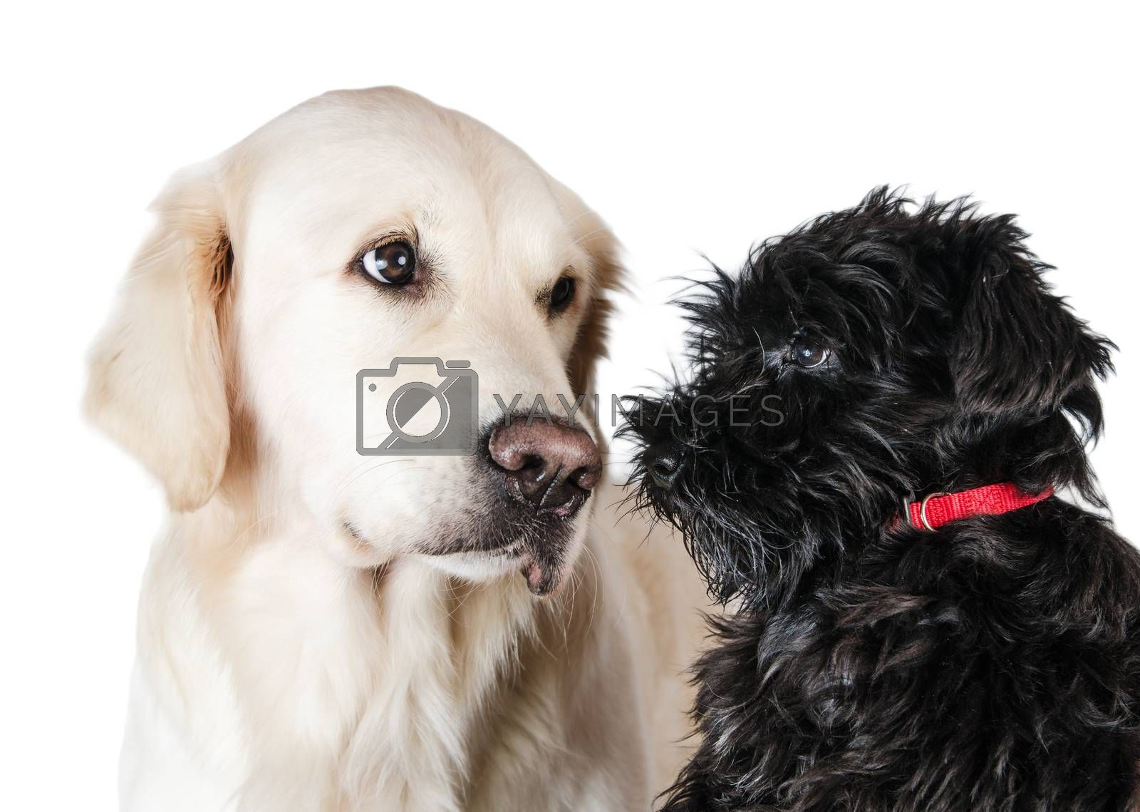 Labrador retriever and miniature schnauzer,  is isolated on a white background