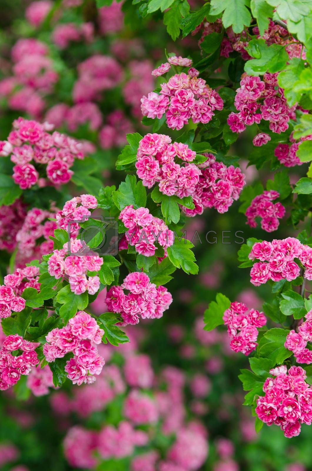 Royalty free image of Blossoming hawthorn , close-up by breeze09