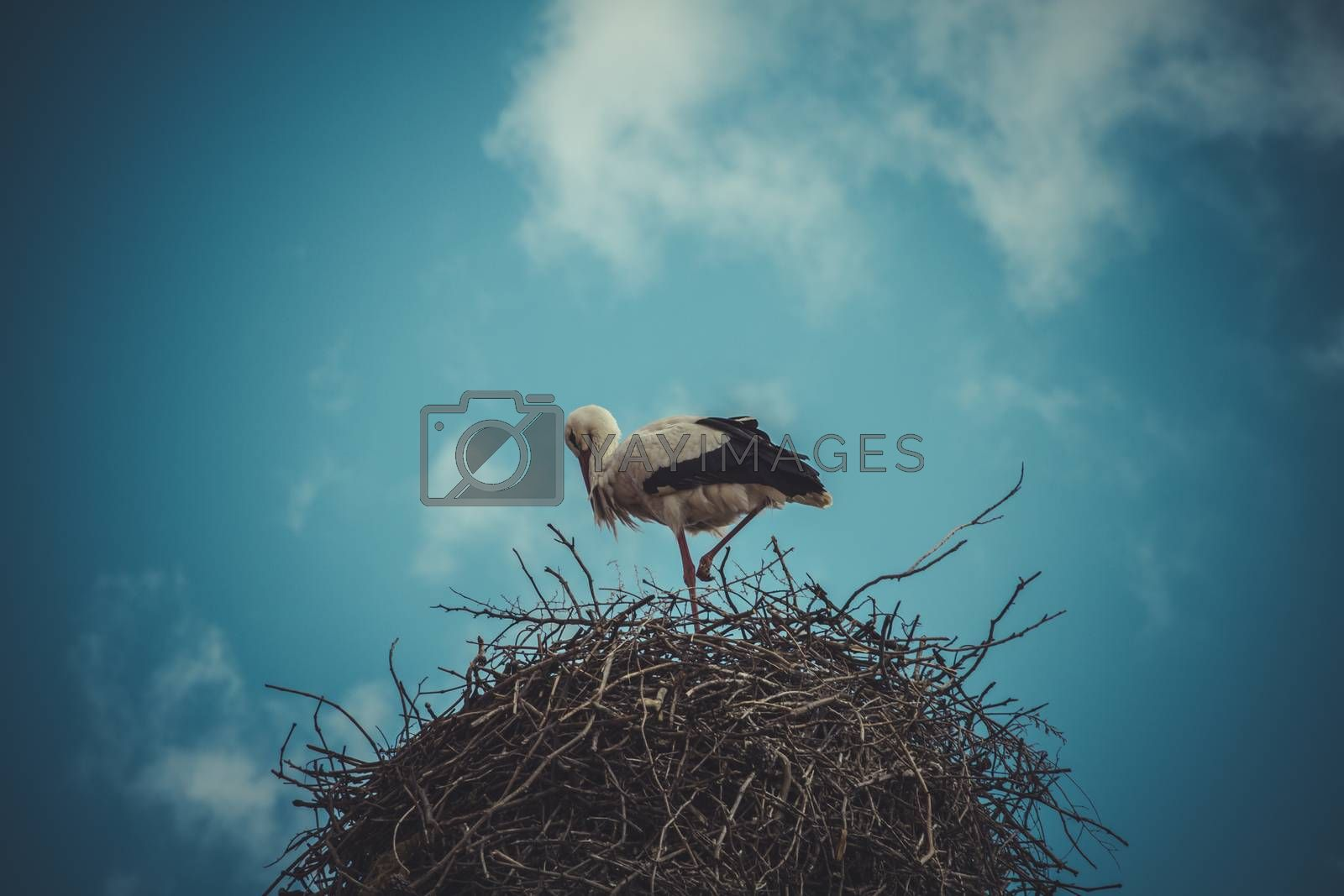 Migratory, Stork nest made ������of tree branches over blue sky in dramatic