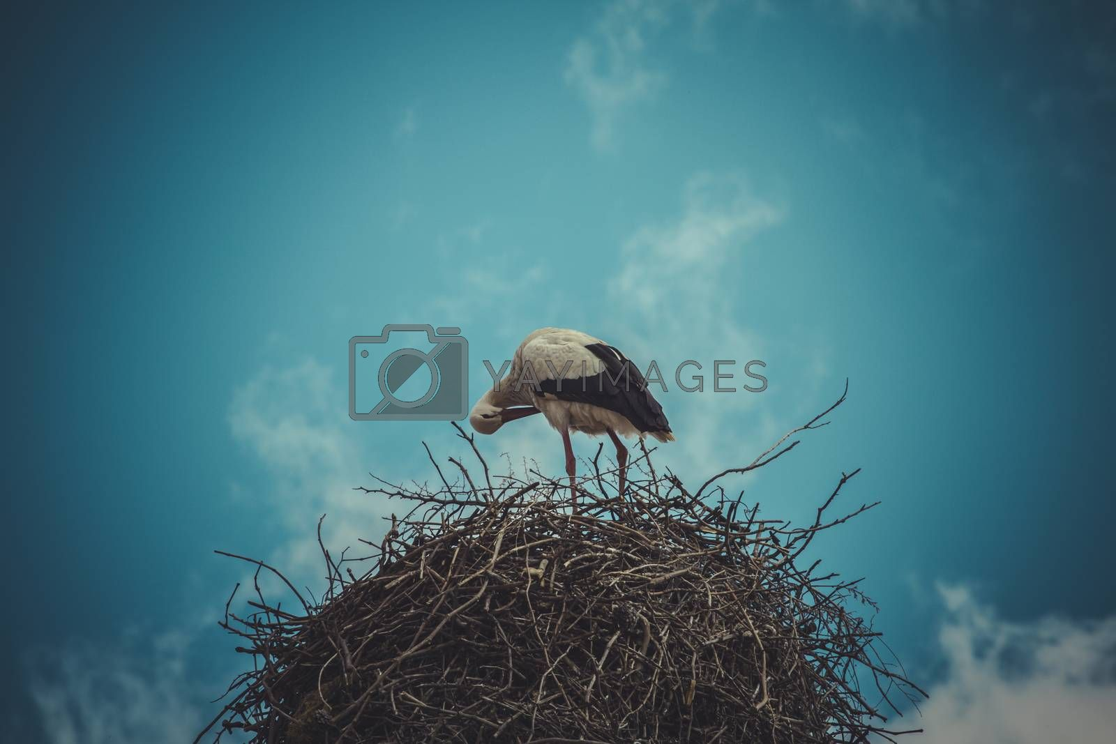 Wild, Stork nest made ������of tree branches over blue sky in dramatic