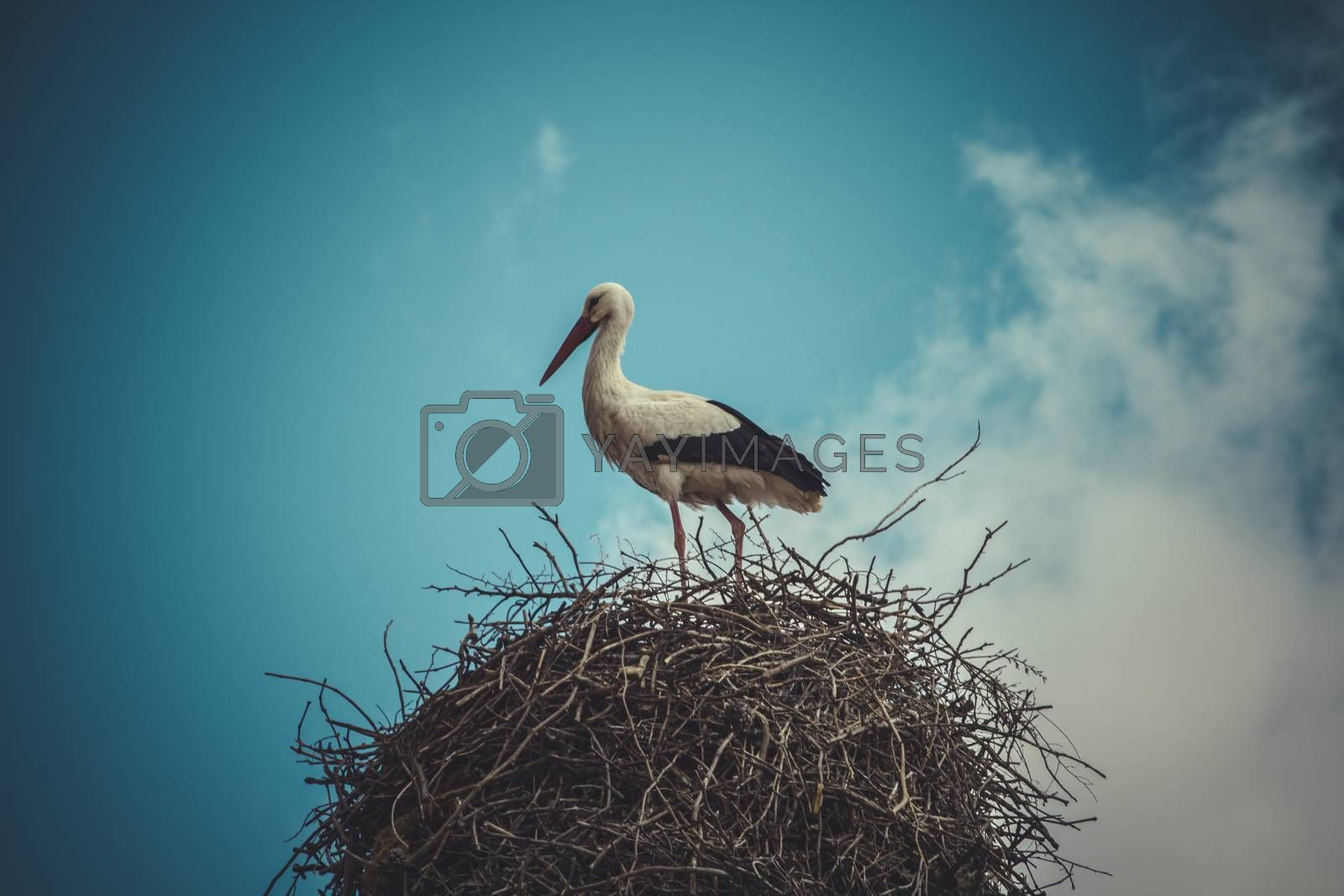 Wildlife, Stork nest made ������of tree branches over blue sky in dramatic