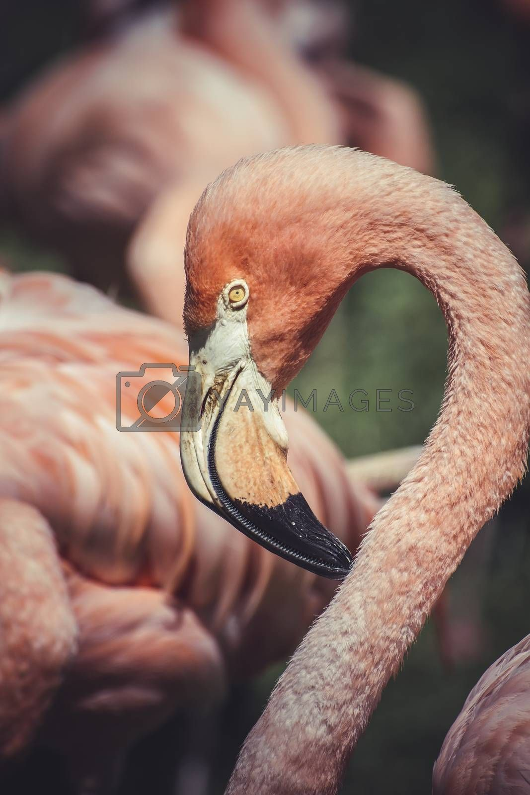 caribbean pink , detail of flamingo head with long neck