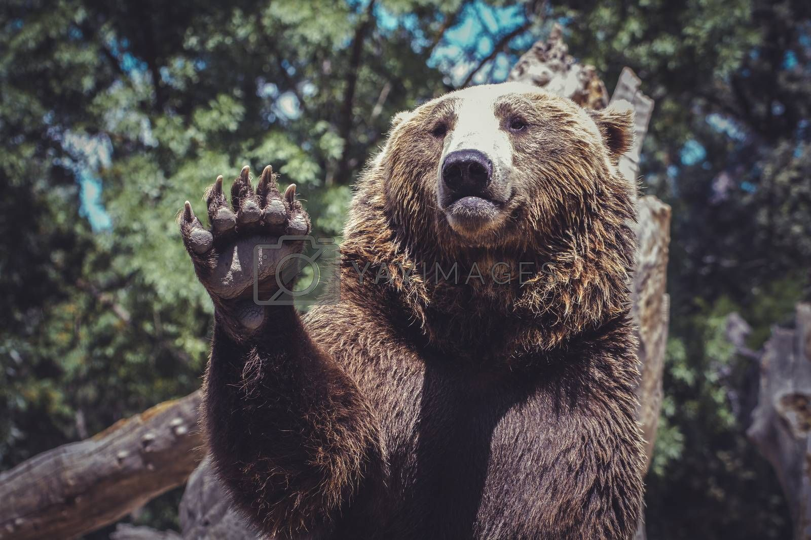 bear waving with claw majestic and powerful animal