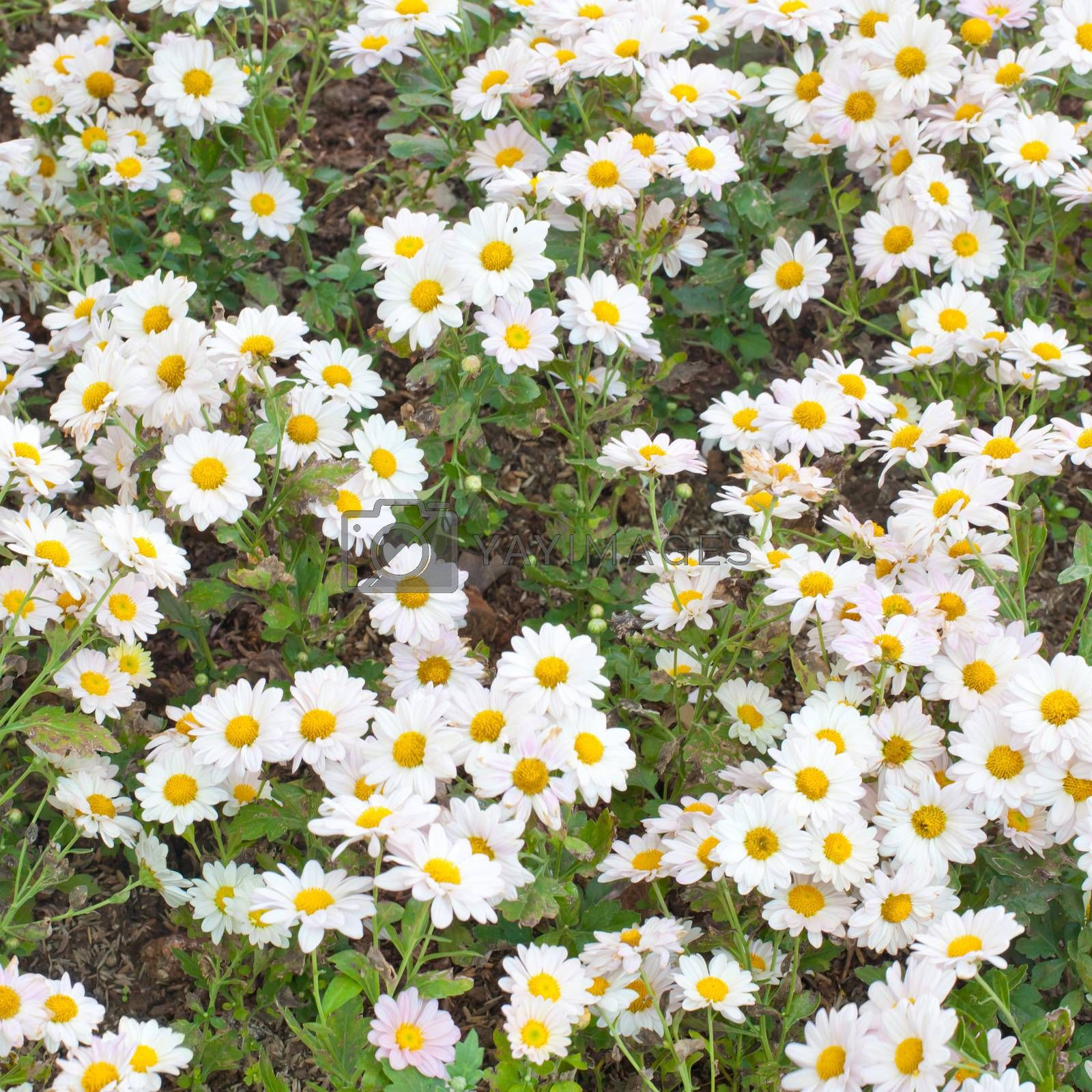 Group of daisy flower texture as background