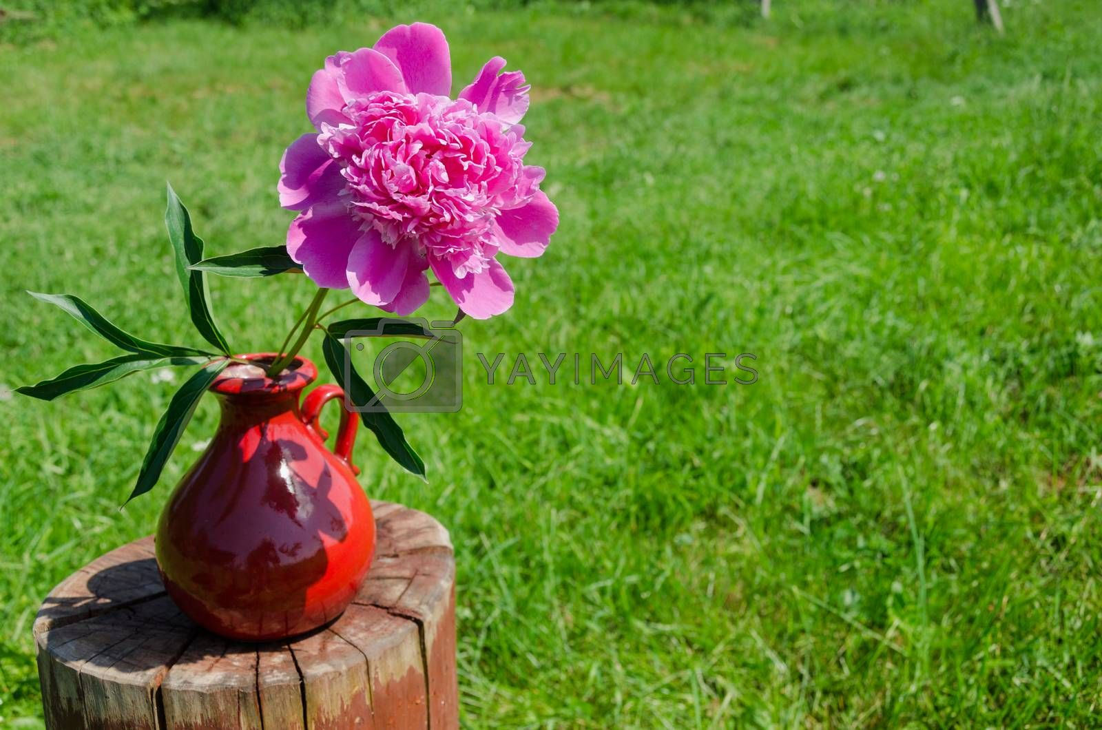 peony in clay handmade pitcher on stump outdoor  by sauletas