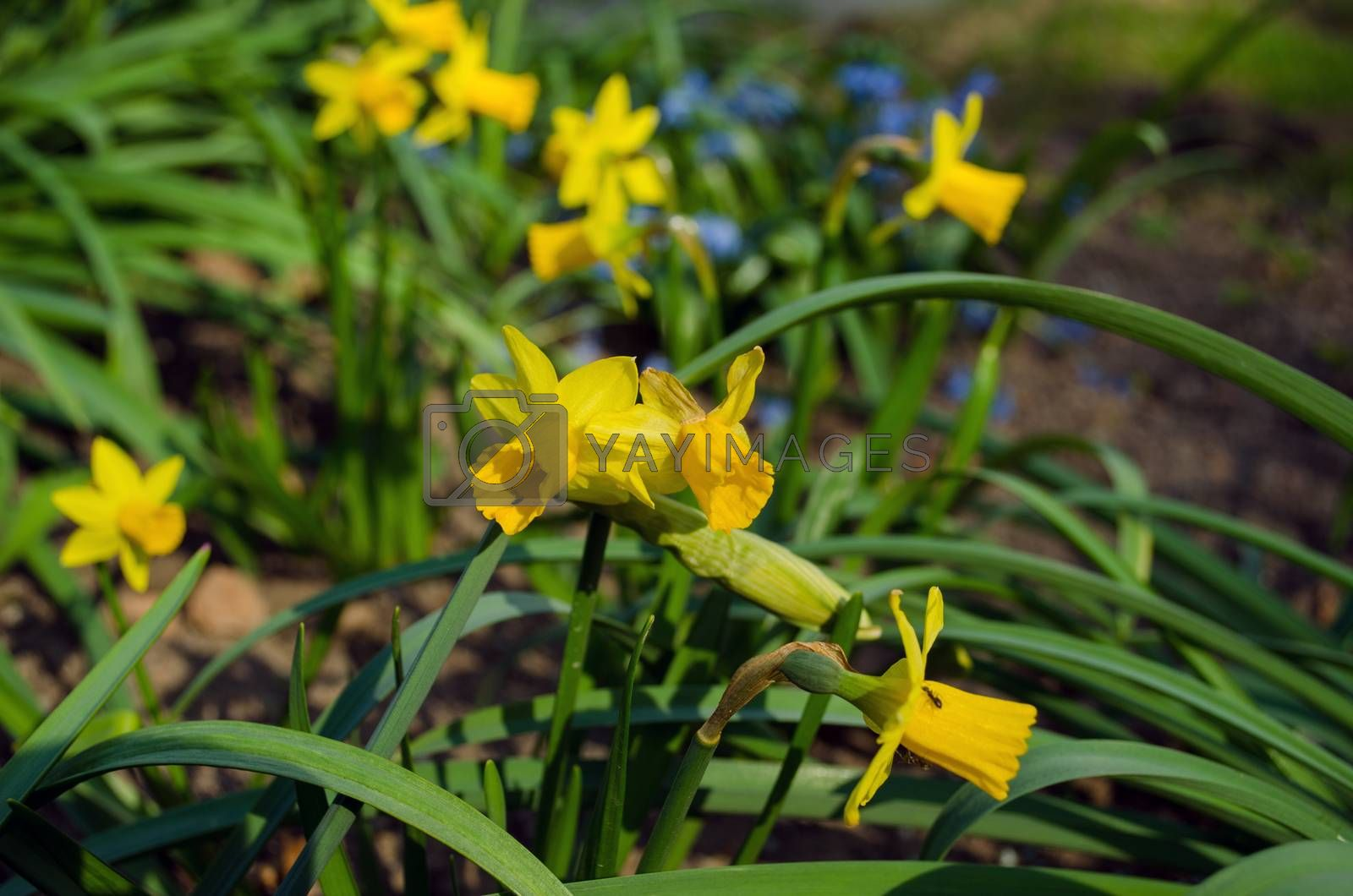 spring yellow narcissus with green leaves  by sauletas
