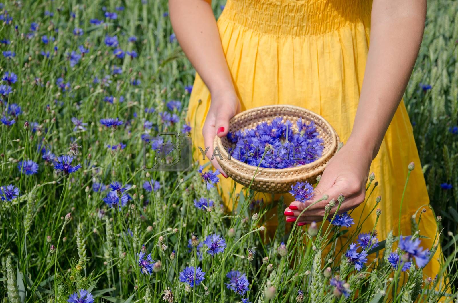 girl in yellow dress hands pick cornflower herbs  by sauletas