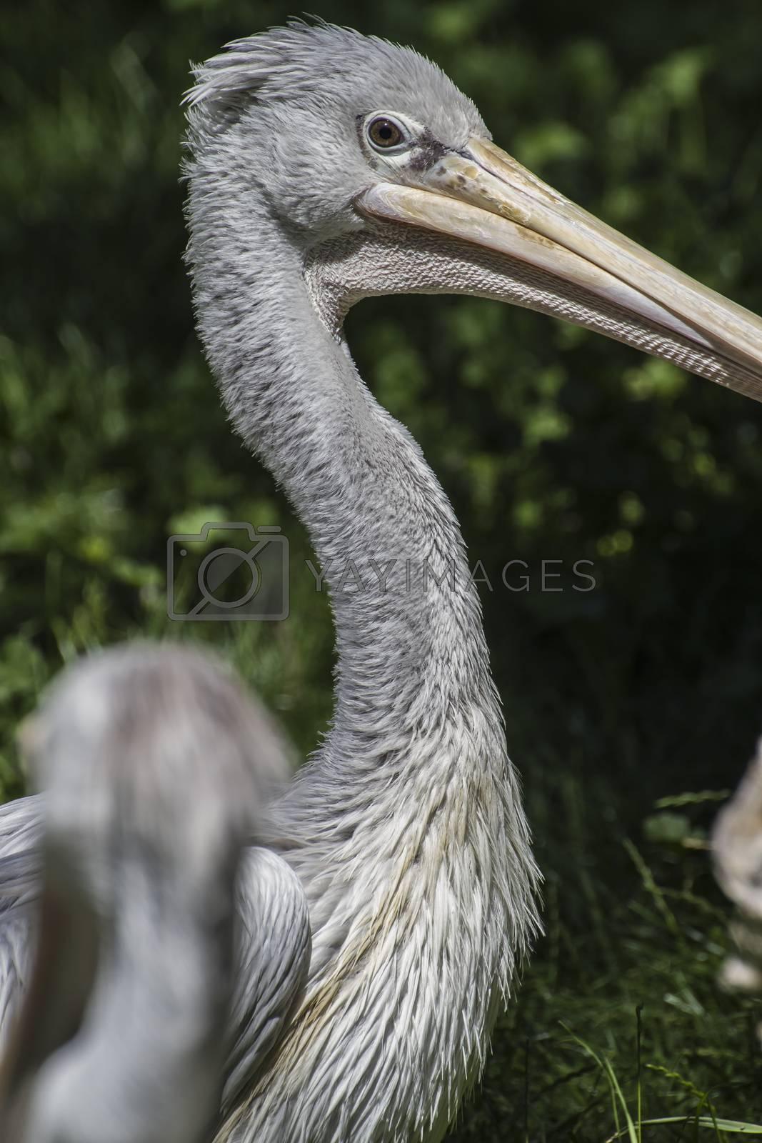 avian pelican, bird with huge beak