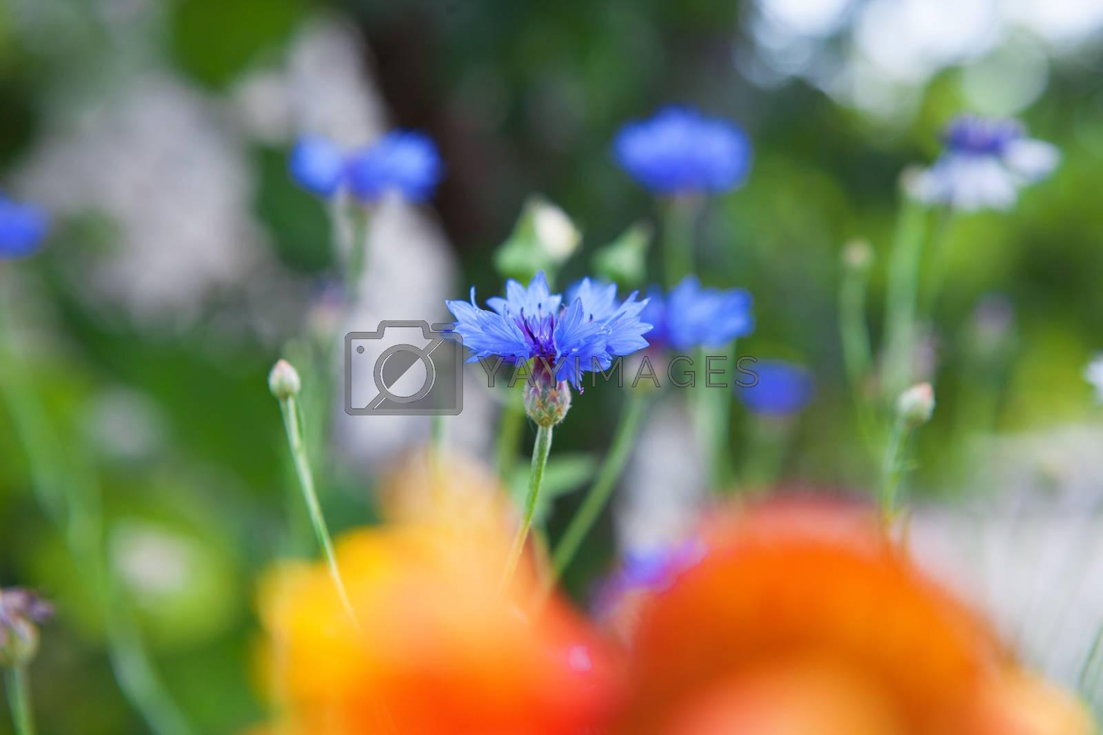 cornflowers on field