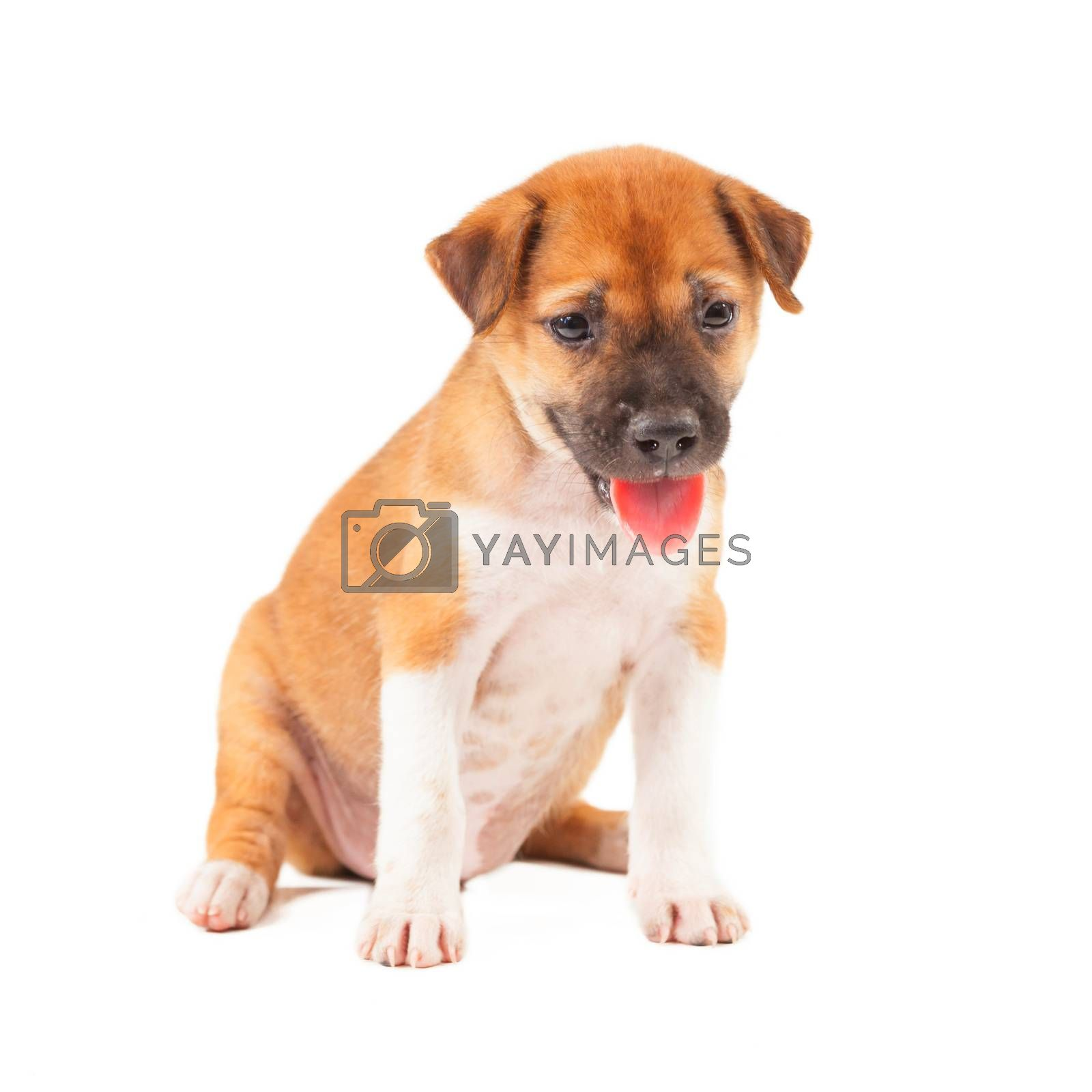 Puppy Dog showing tongue isolated on white background