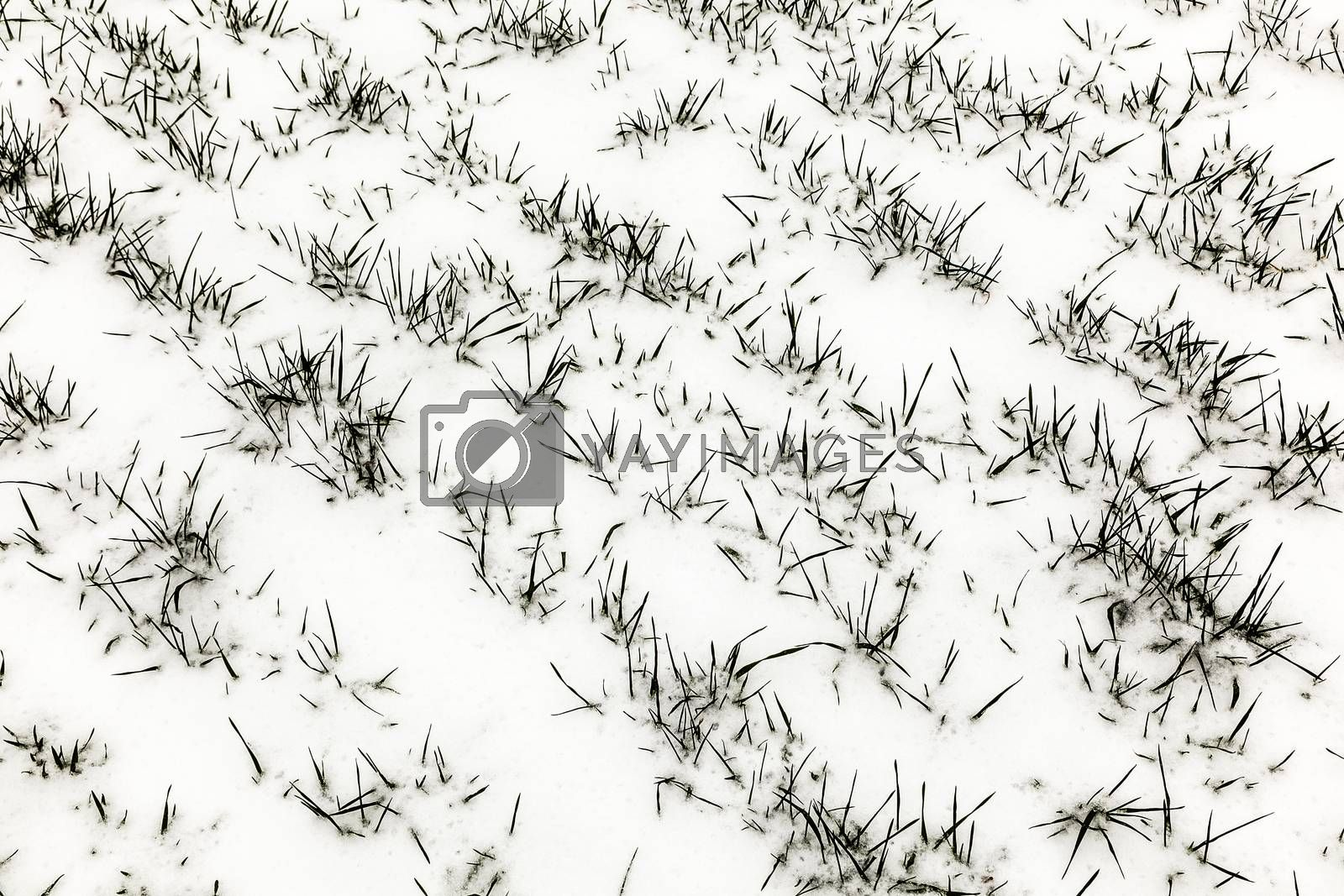 First snow in the oats field