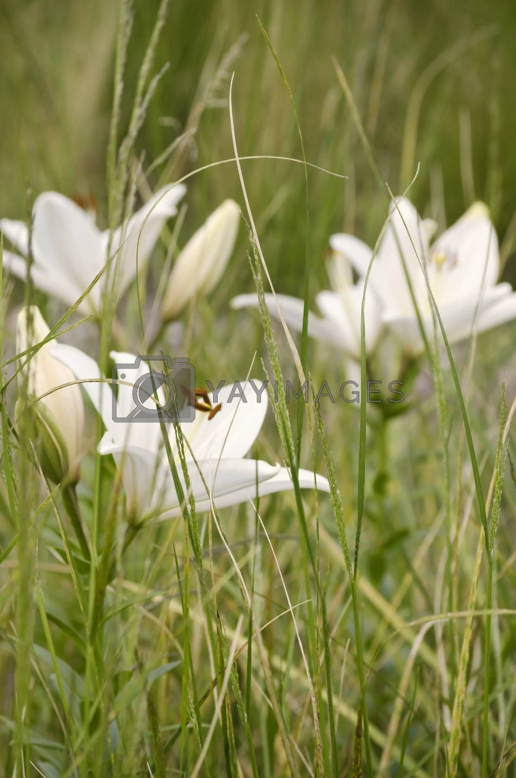 White Lily Flower Over Grass Background
