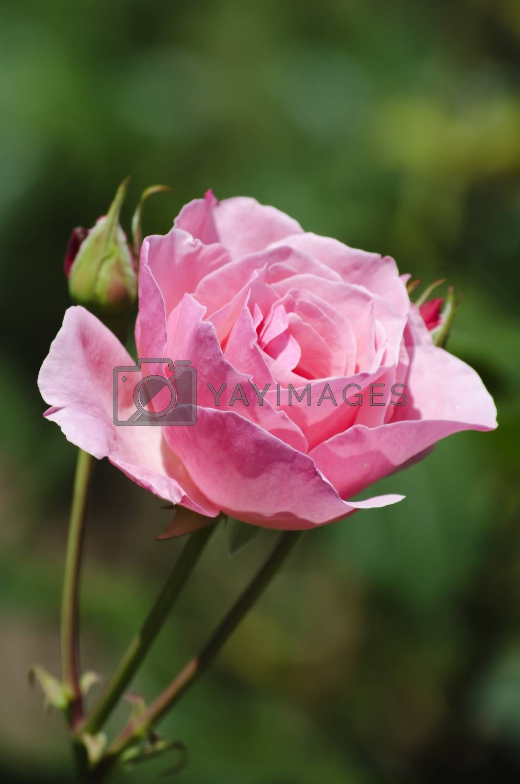 Photo of the Single Rose Over Natural Green Background