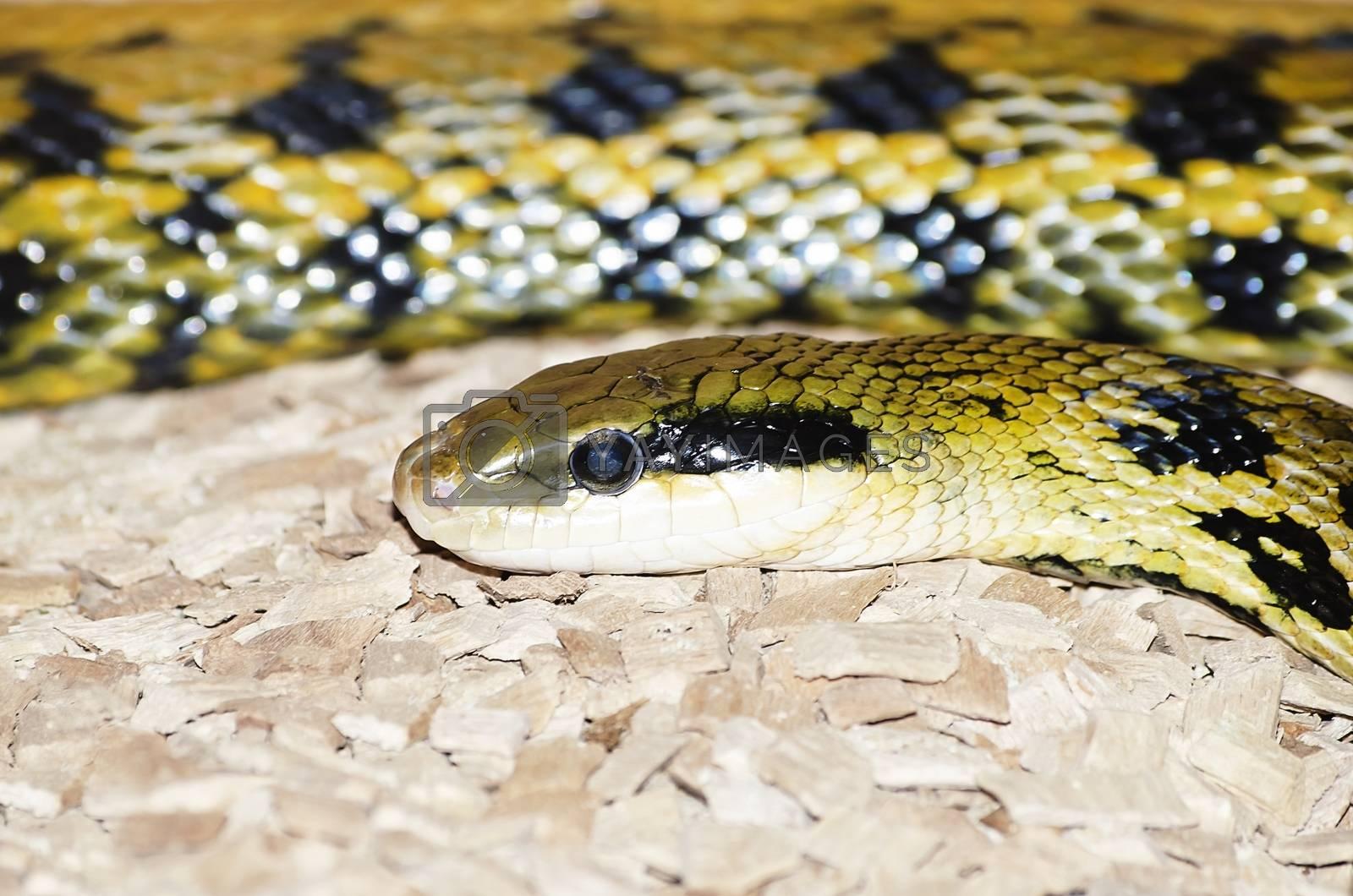 Photo of the Yellow and Black Elaphe Snake