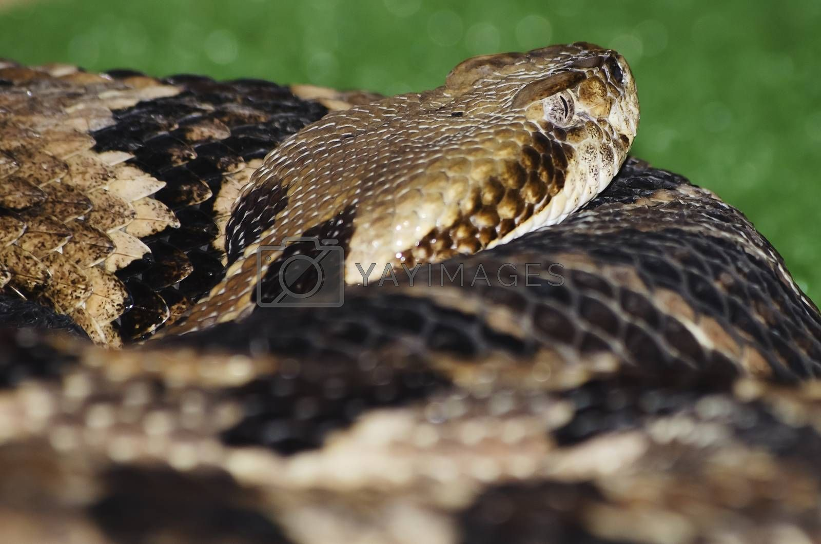 Photo of the Banded Rattlesnake Over Green