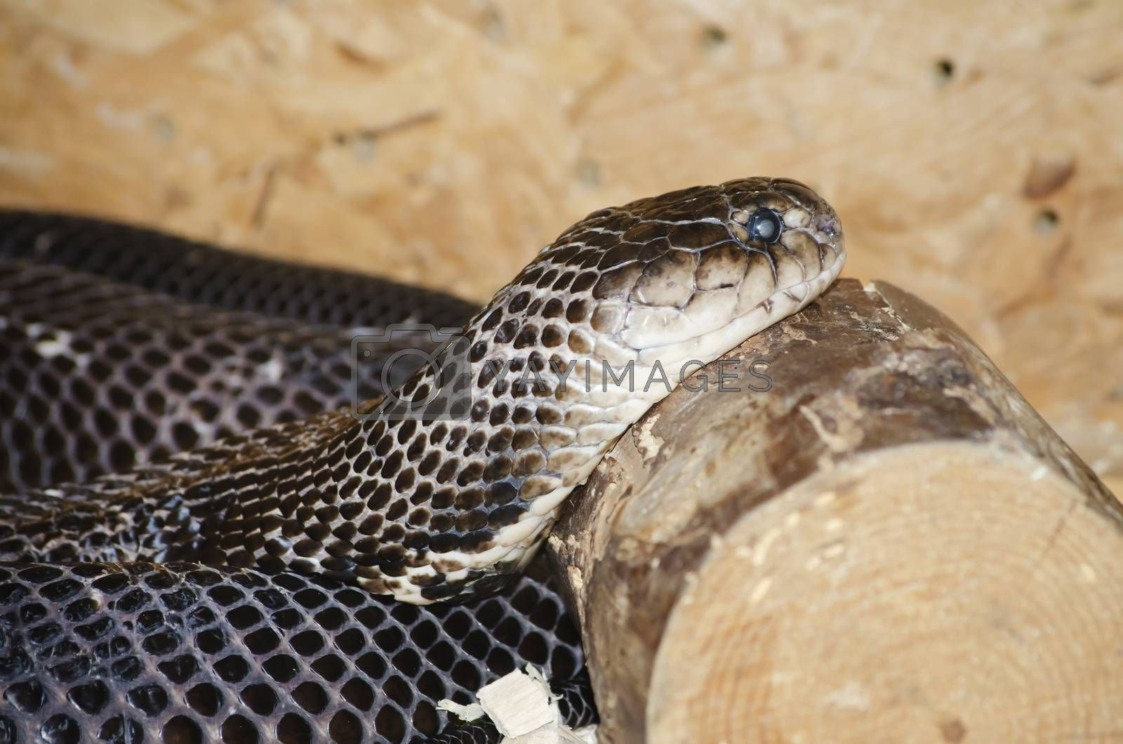 Photo of the Ringhals (South African Spitting Cobra)