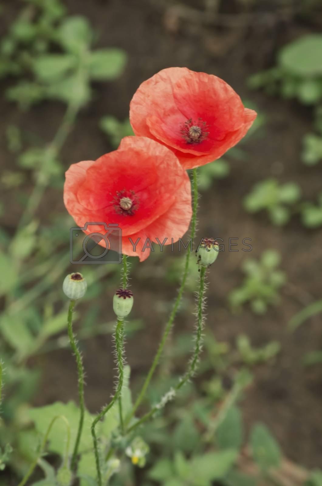 Photo of Red Poppy Flower Over Green Grass in Springtime