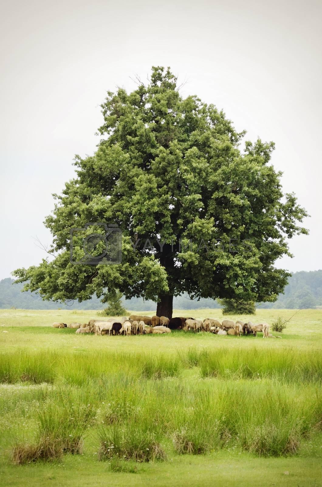 Single Oak With Sheeps in Rural Landscape