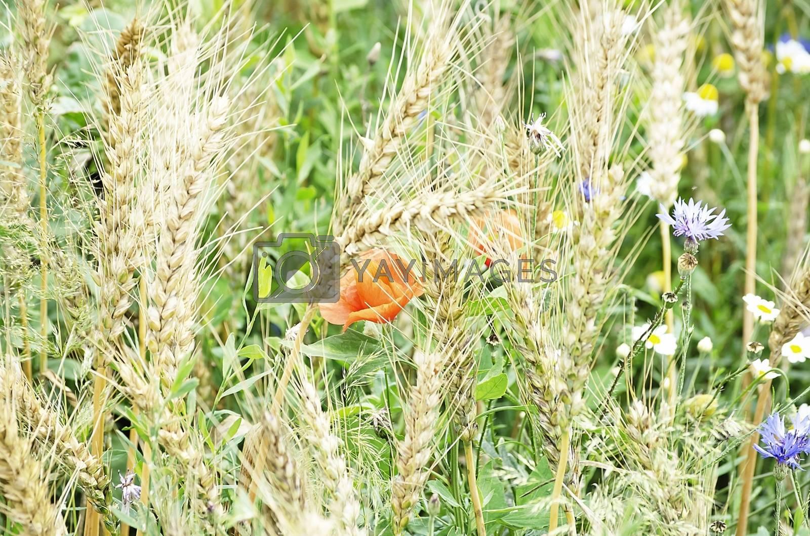 Wheat Field With CornFlower and Poppy Flower