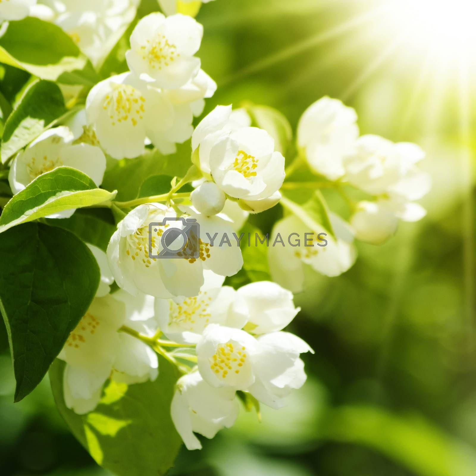 Photo of the Jasmine Flower Blossom in Summertime