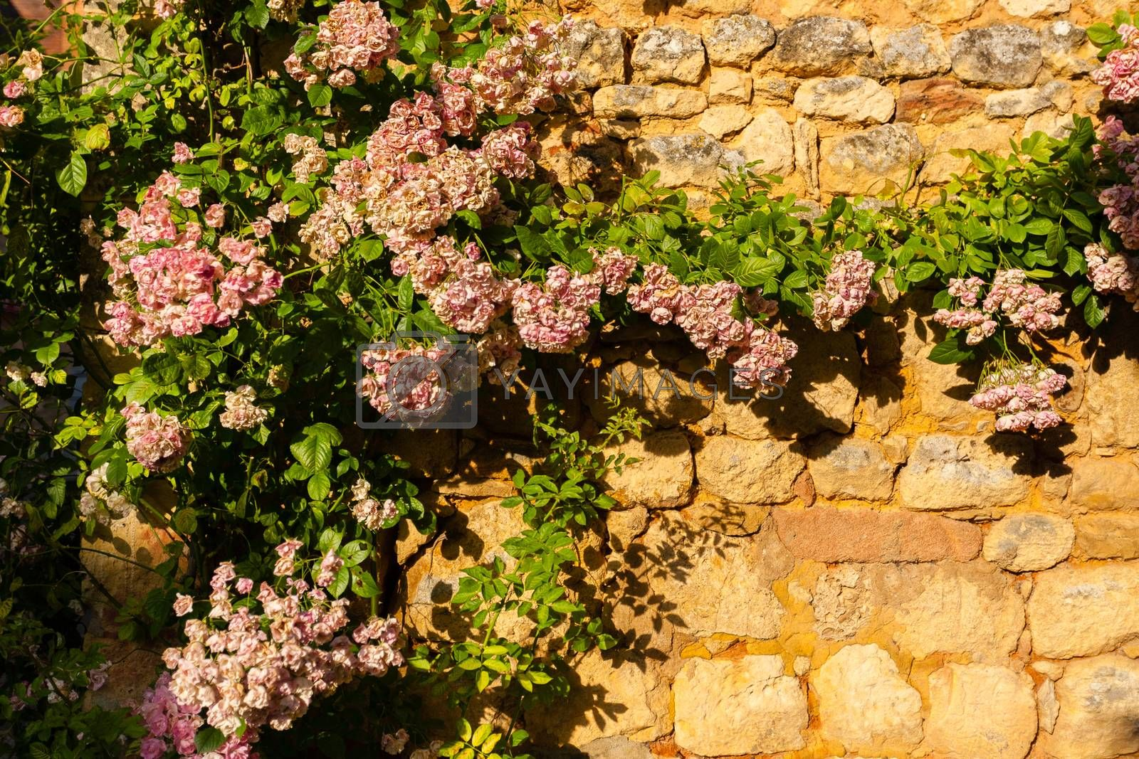 Rose climbing plant in a stoned wall in the Dordogne region of France