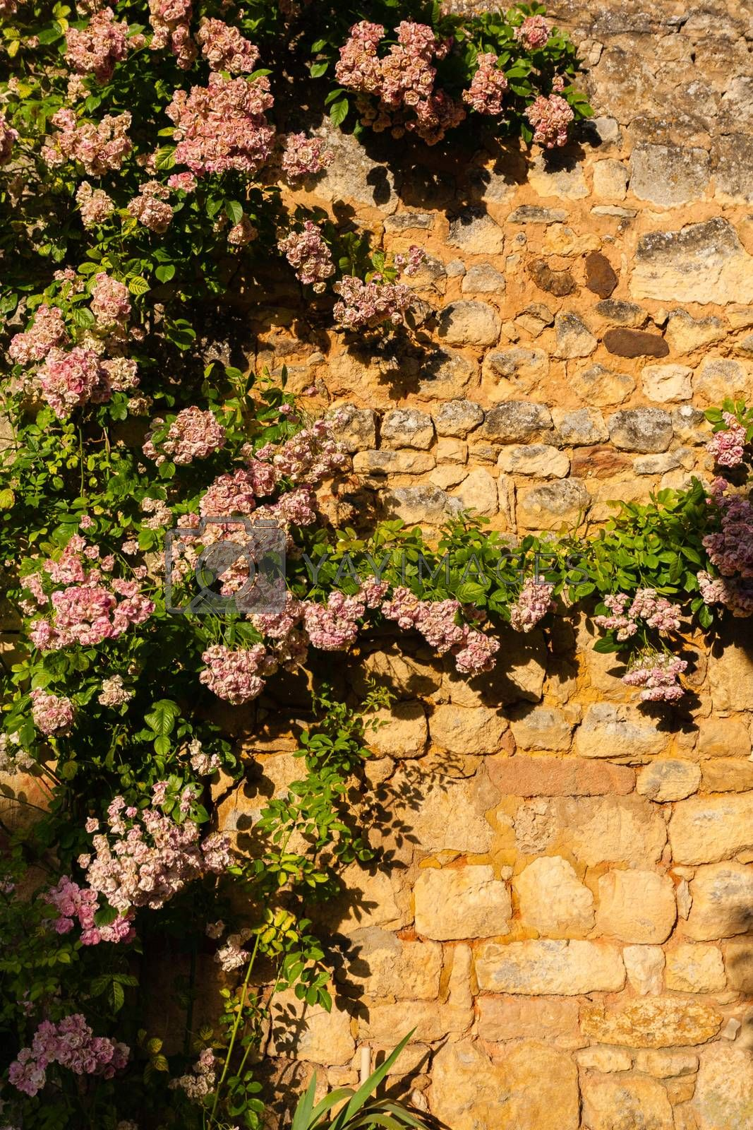 Rose climbing plant in a wall in the Dordogne region of France