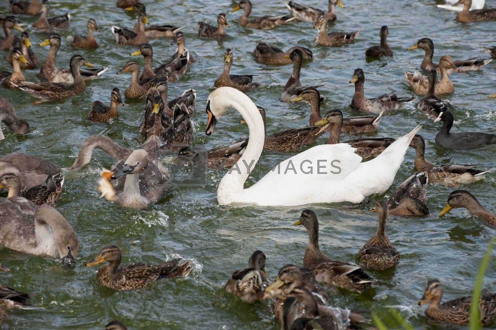 Waterfowl ducks and a white swan float in a pond