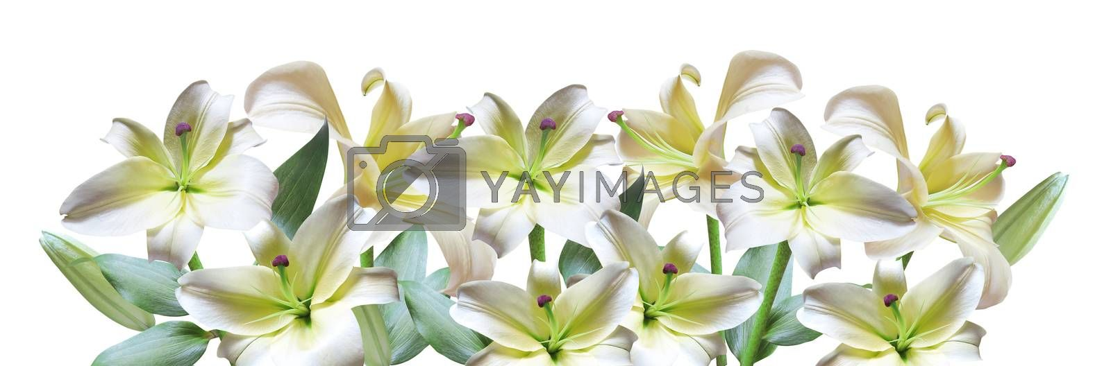White lily with bud isolated on white background