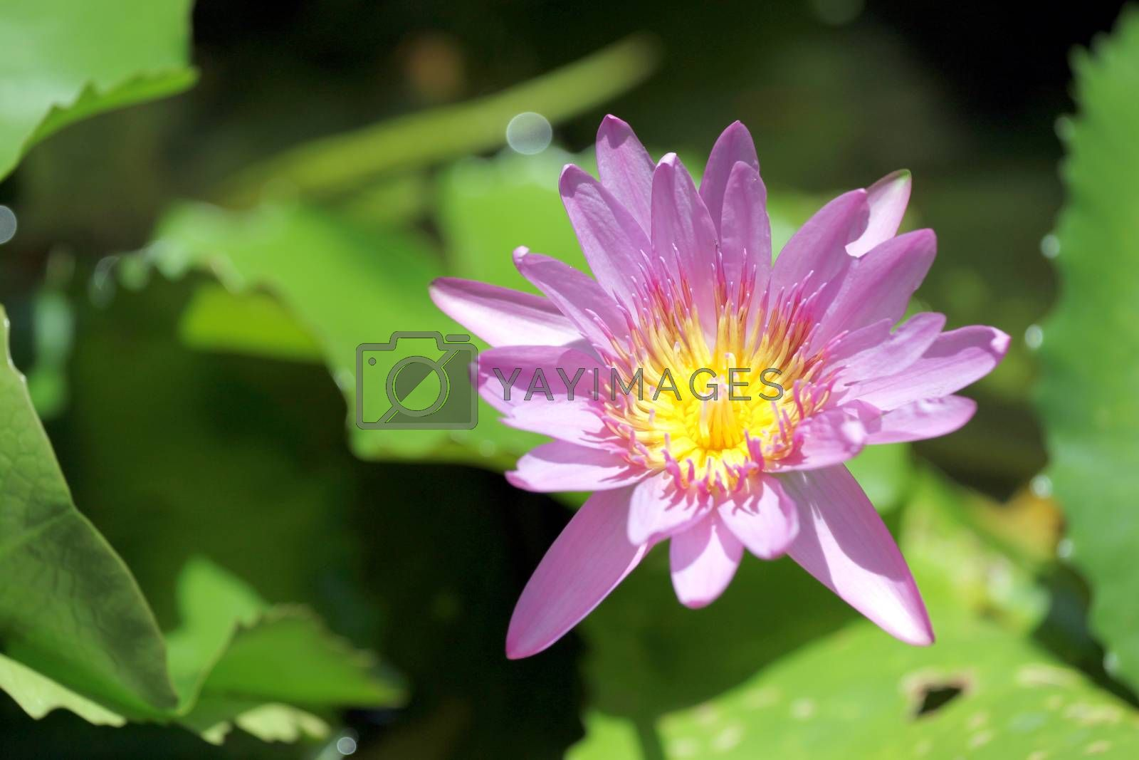 The Pink lotus in the pond and green leaf lotus of  background.