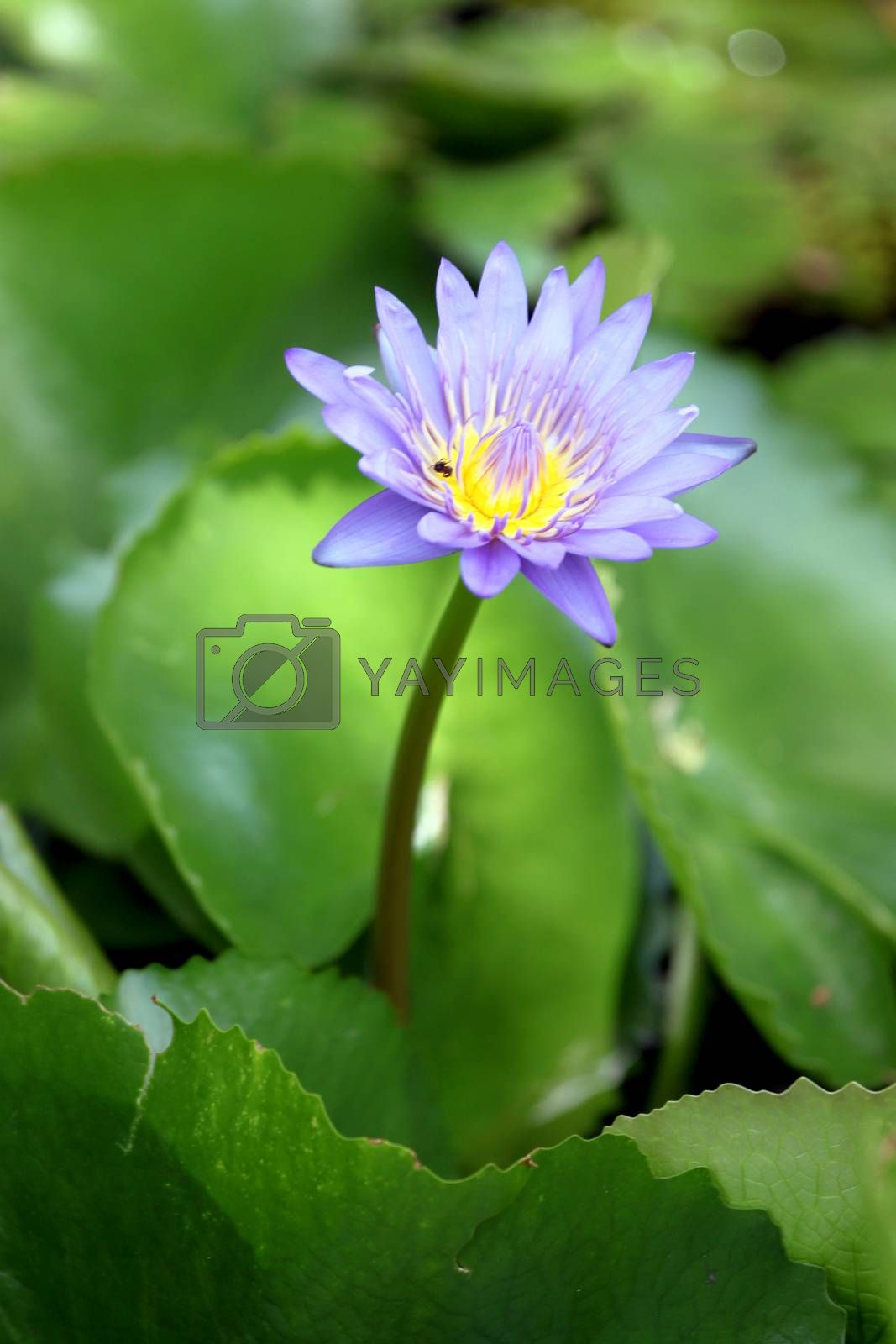 The Violet lotus in focus of Hight view.