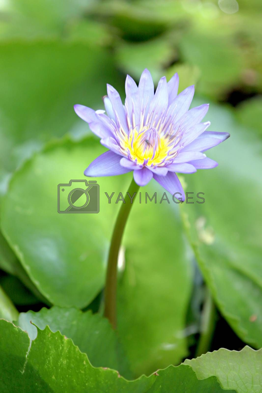 The violet  lotus in the pond and green leaf lotus of  background.